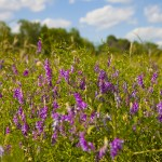 2013 Honeyflow - Beautiful Vetch
