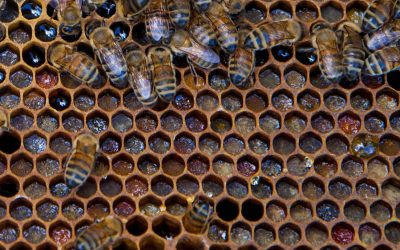 Intro to Beekeeping: Find the Queen!